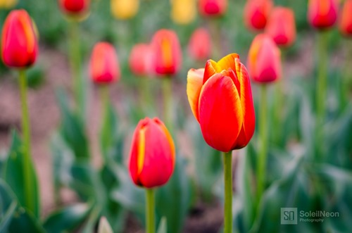 Red Tulip in Green Background
