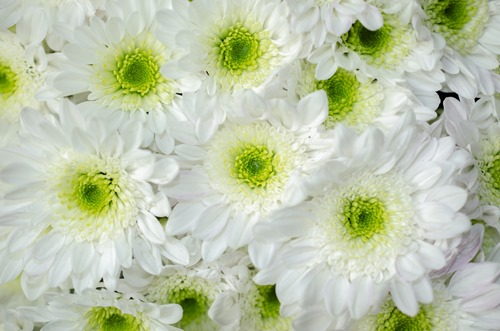 Green Chrysanthemum 2