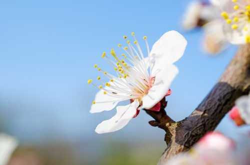 White Plum Blossom on Branch 2
