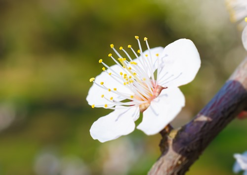 White Plum Blossom on Branch