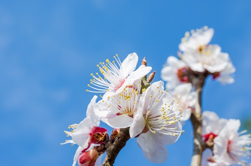 White Plum Blossoms on Branchs
