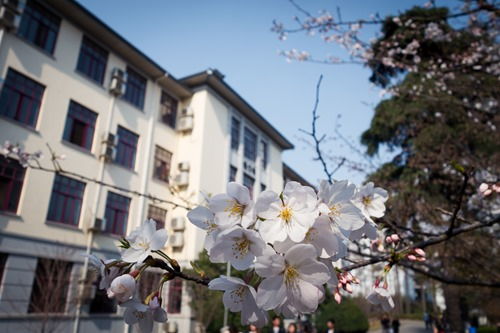 White Sakura in The University