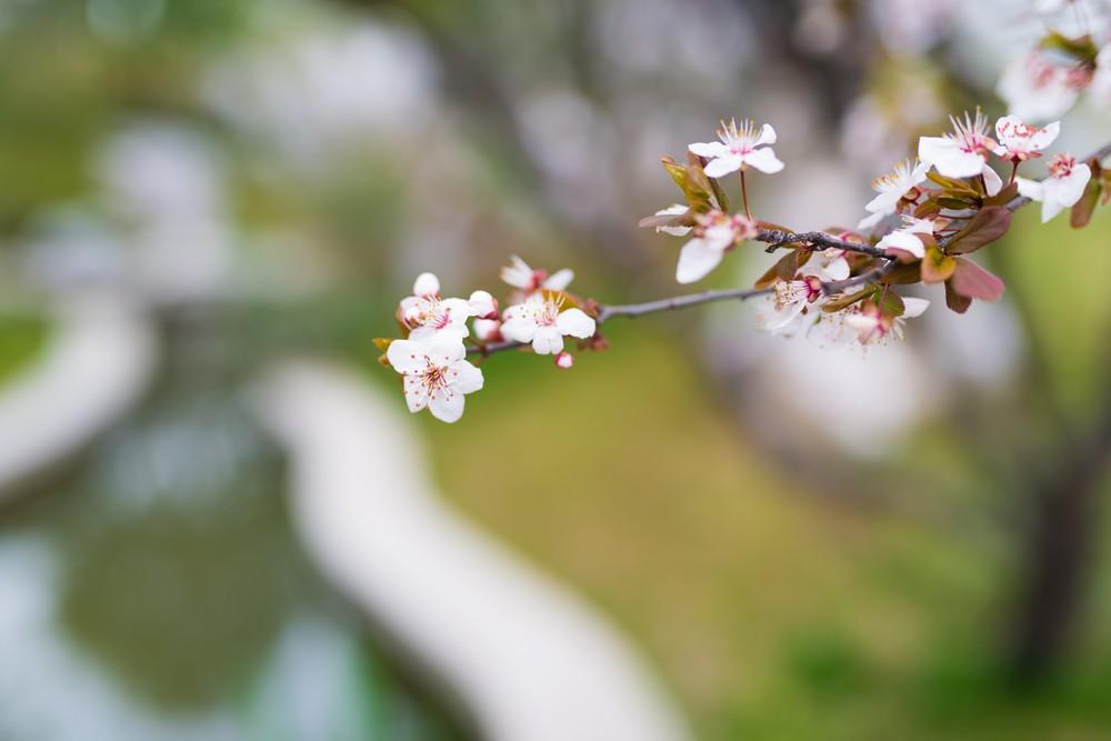 Cherry Blossom-10
