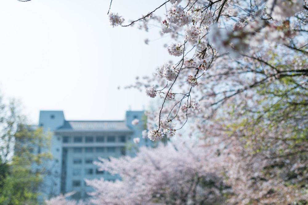 Sakura Tree in The Campus