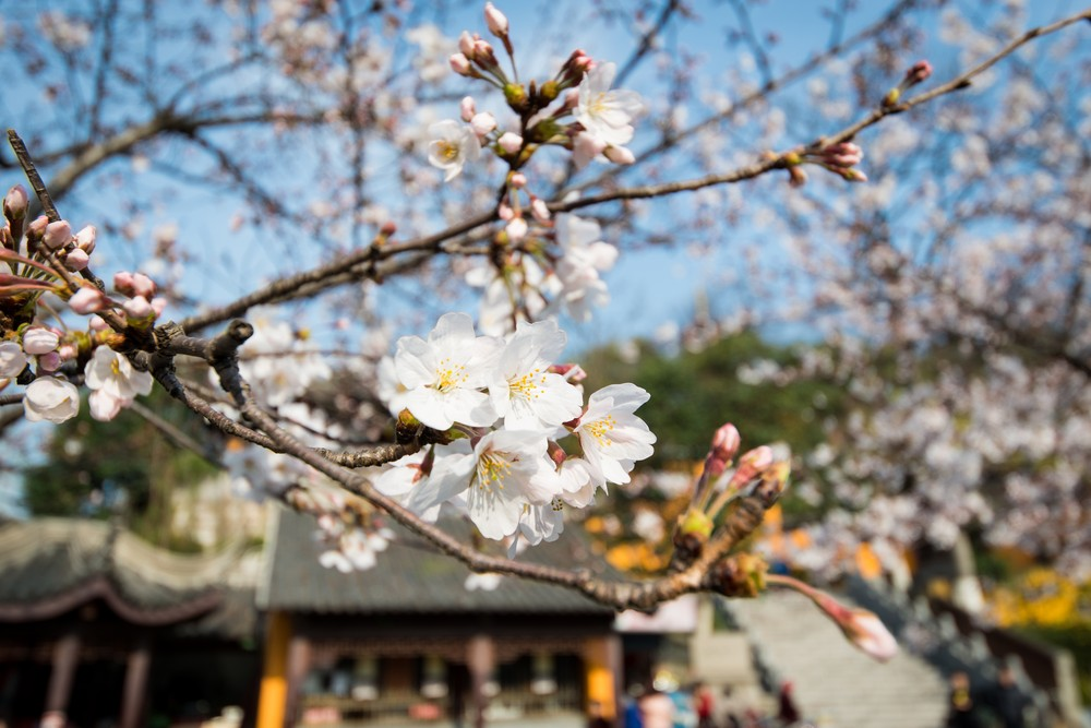 Sakura at Jiming Temple-2