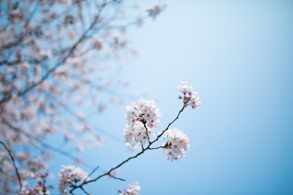 The Cherry Blossom Under The Blue Sky
