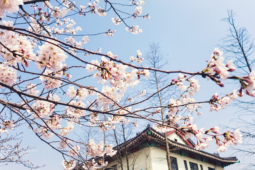 Cherry Blossoms With The Traditional Style Building