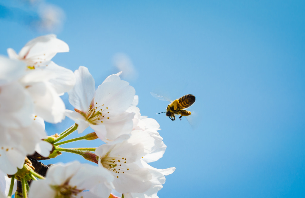 Cherry Blossoms and Flying Bee