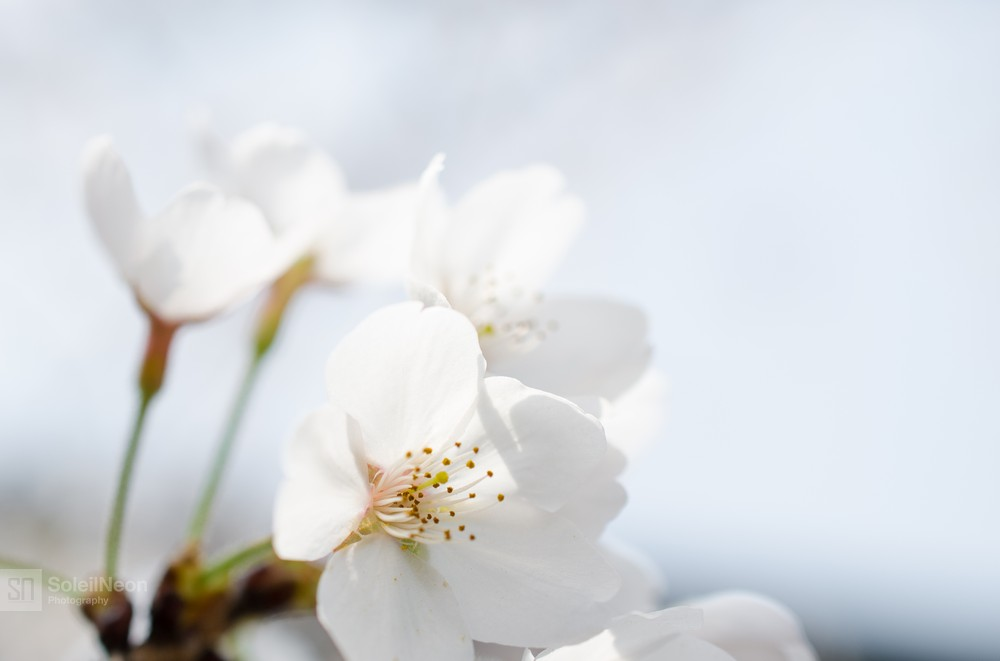 White Cherry Blossom Under The Micro Lens