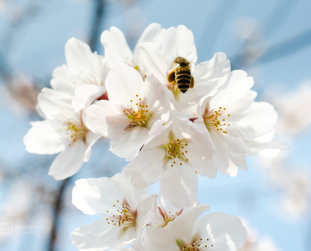 White Cherry Blossoms And Flying Bee