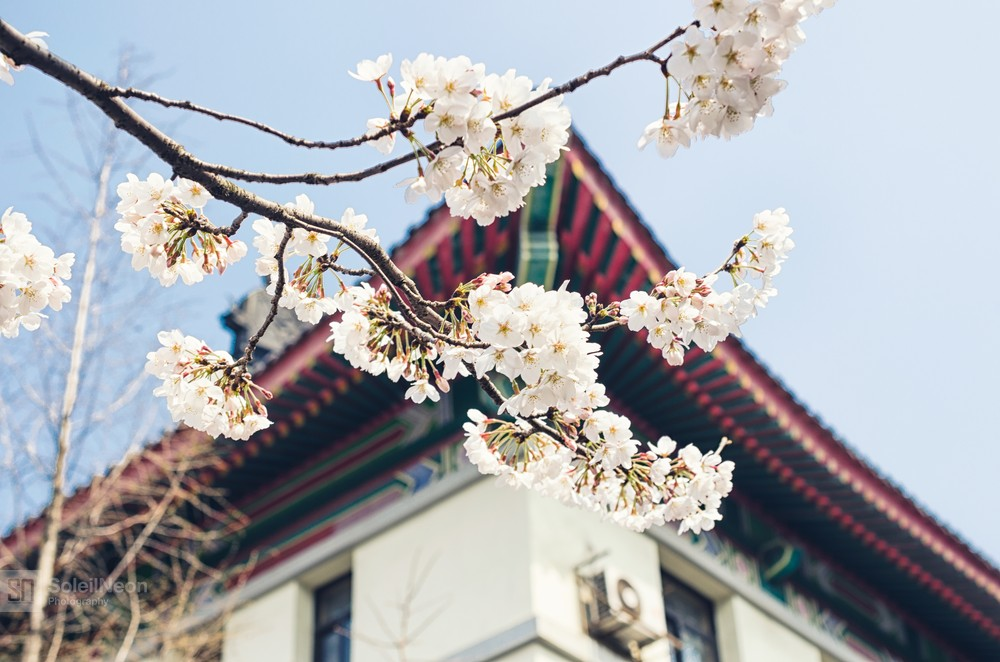 White Cherry Blossoms with Traditional Style Building