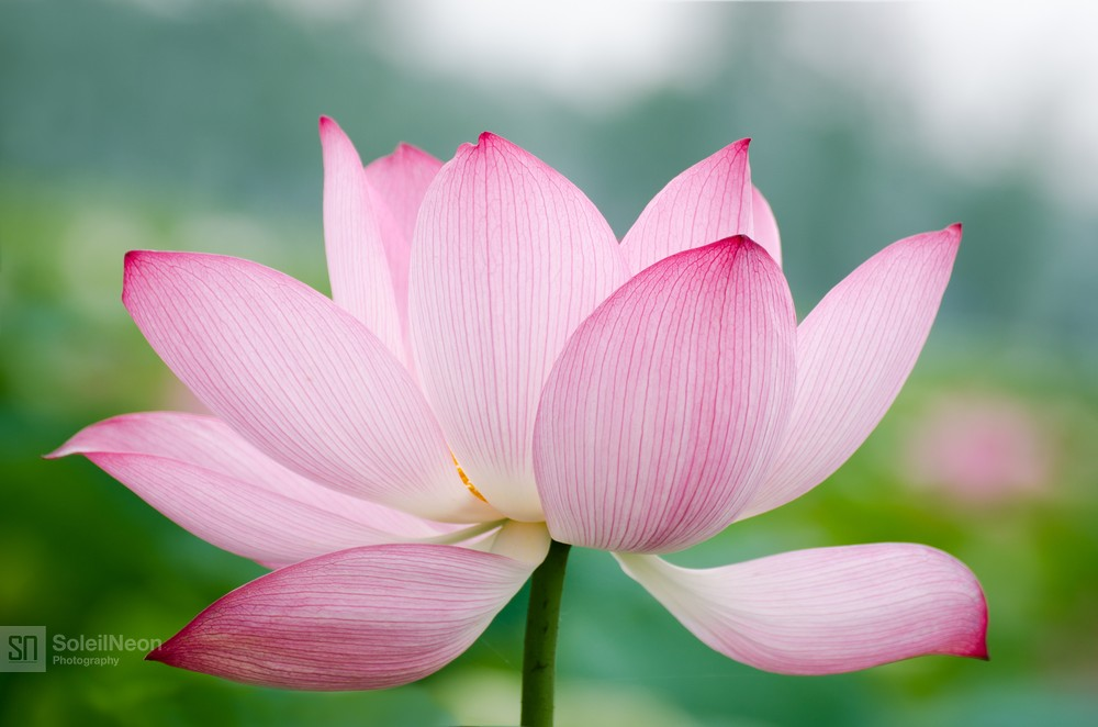 Pink Lotus in Summer