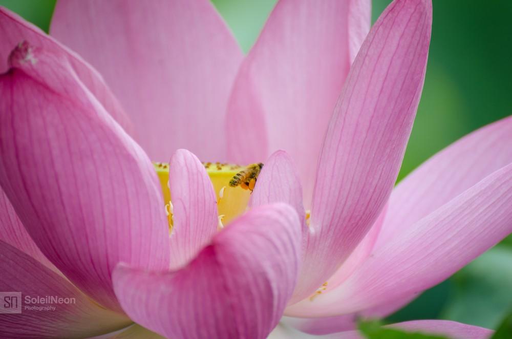 Lotus-18