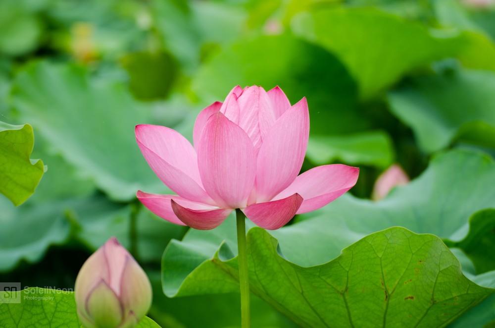Lotus-21