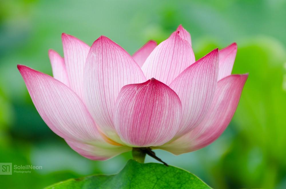 Lotus-22