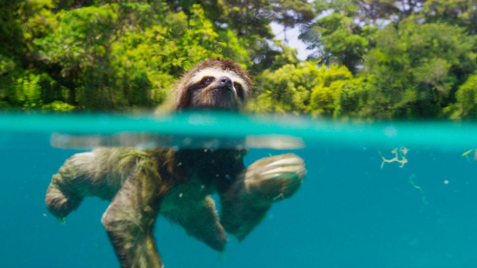 gallery-1478272206-planet-earth-ii-pygmy-sloth