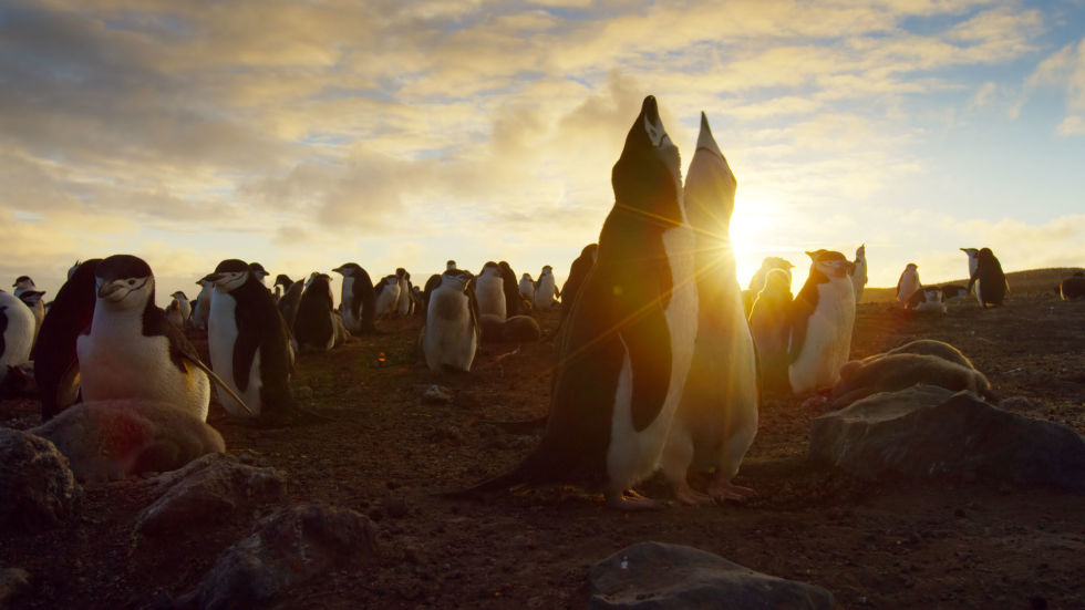 gallery-1478272742-planet-earth-ii-penguins-courting